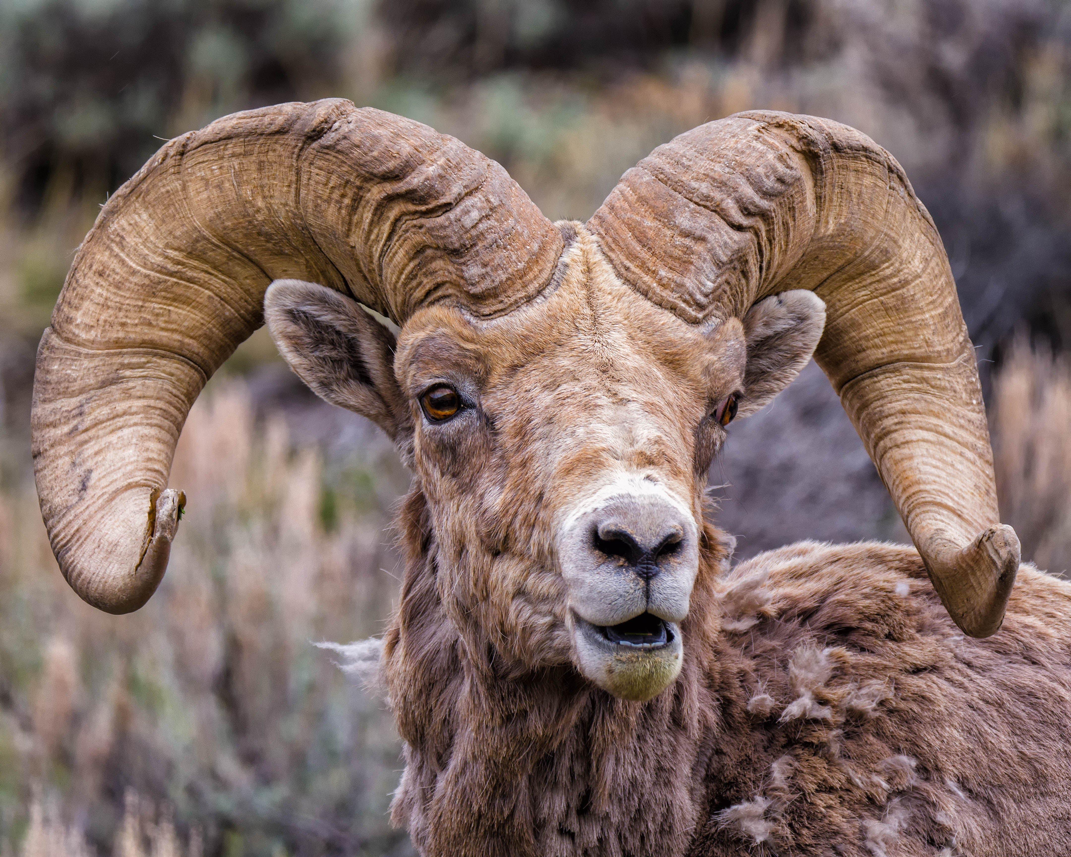 Ram Big Horn >> Bighorn Sheep - Wind River Country