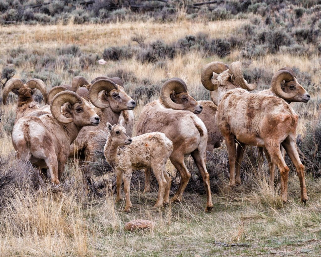 Bighorn sheep rut on Whiskey Mountain.
