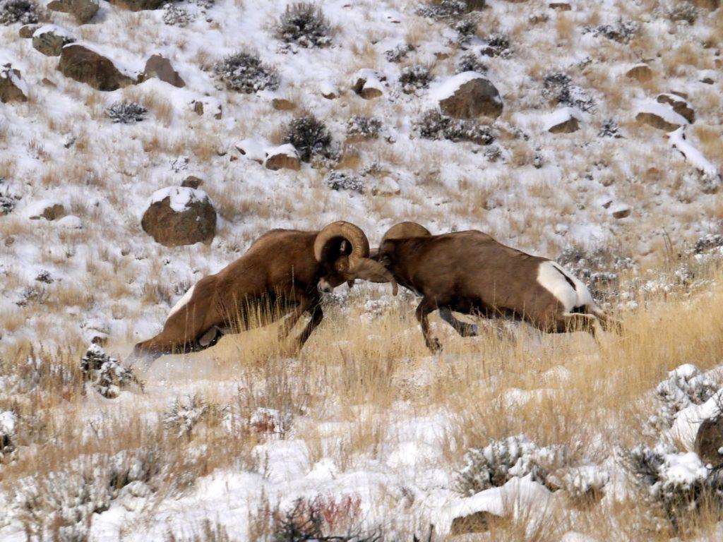 Two bighorn rams butt heads on a snowy hillside.
