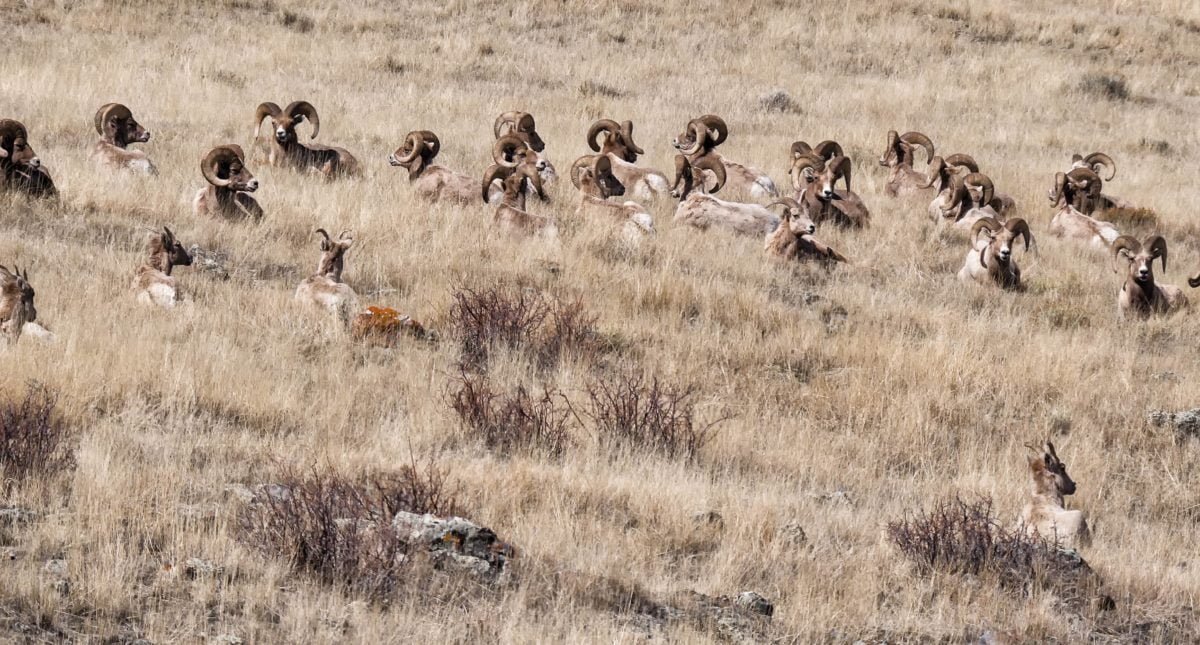 A herd of big horn sheep on a hillside.
