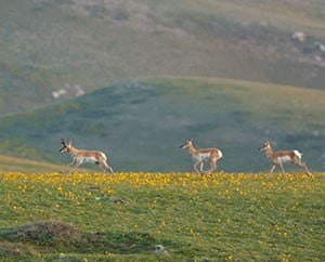 Pronghorn and wildflowers
