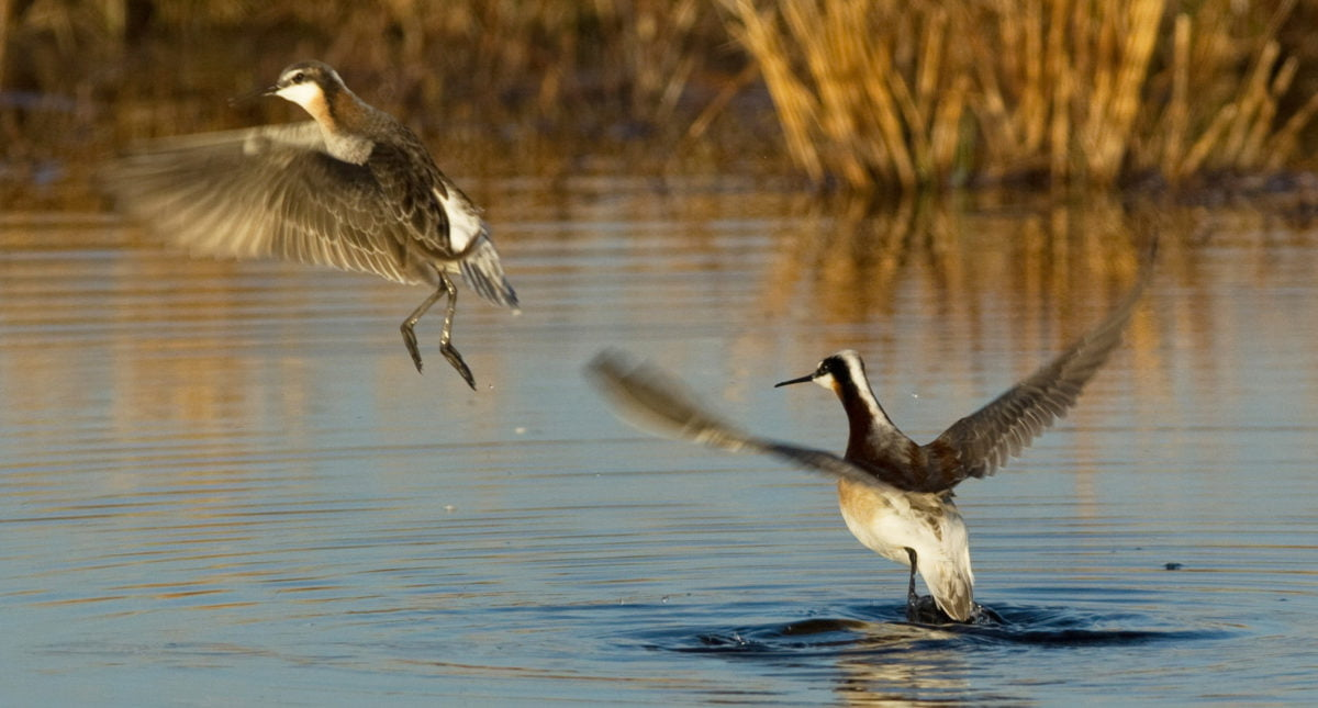 A pair of Wilsons Phalarope.