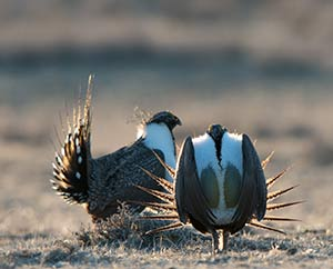 sage grouse in a lek