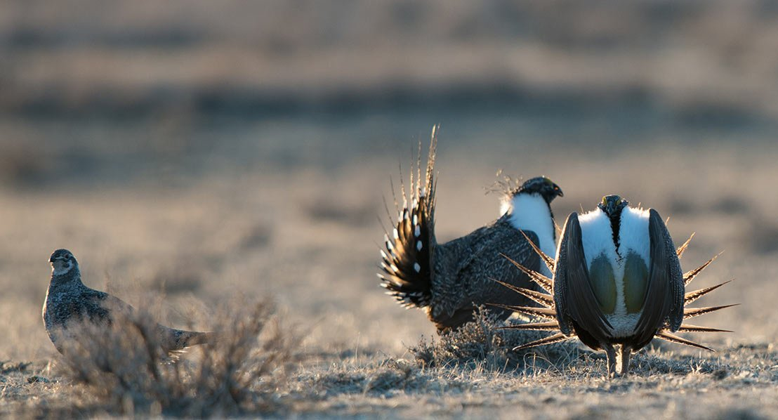 See the sage grouse strut. Photo: Scott Copeland
