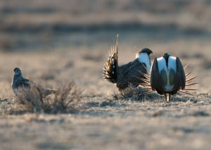 Sage Grouse in Front of the Sunrise