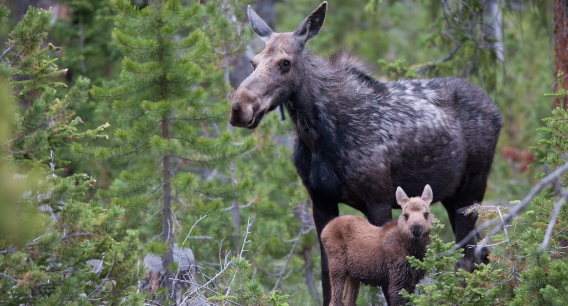 scott-copeland-louis-lake-moose-cow-and-calf-11-1280x853