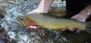 cutthroat_trout-16