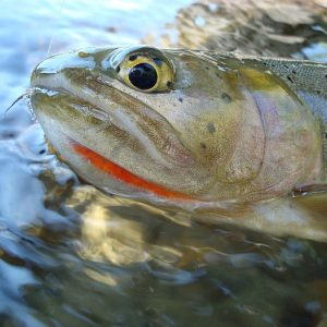 cutthroat_trout-34
