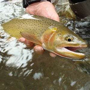 cutthroat_trout-9
