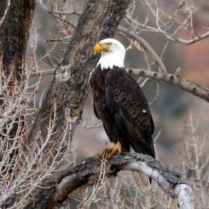Bald eagle, 75 points.