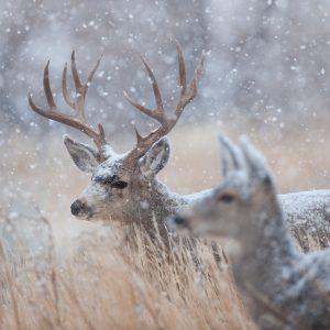Doe and buck deer in snowfall