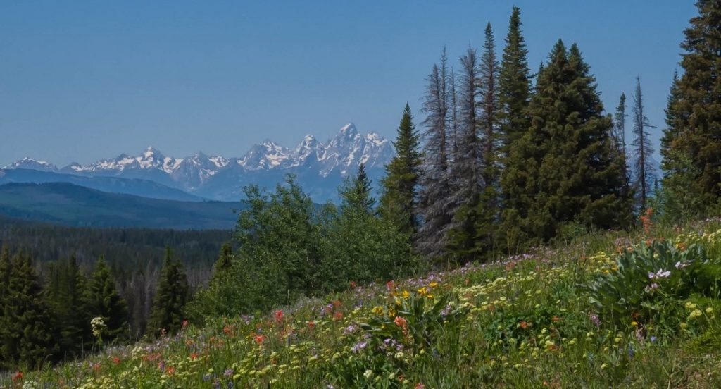 Tetons with Wildflowers as seen from Togwotee Pass.