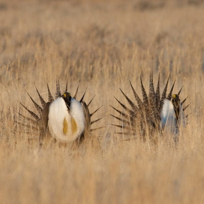 Two sage grouse dance in the grasses