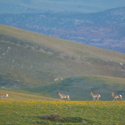 Antelope herd running through yellow flowers