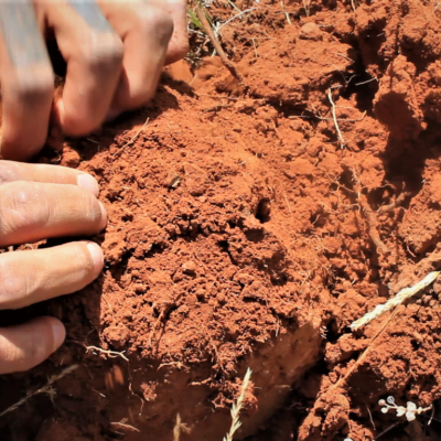 Hands digging through red soil for edible plants and medicine.