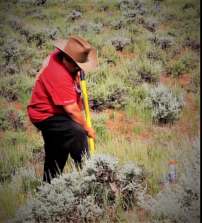 Native American woman digging for edible plans in Wind River Country, Wyoming