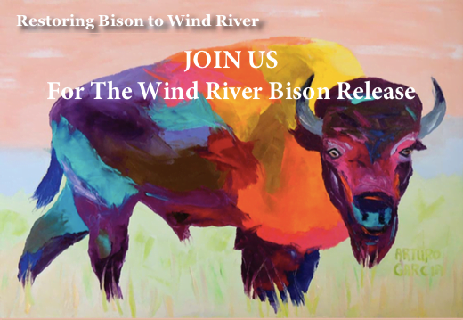 Bison Returning to Wind River Country