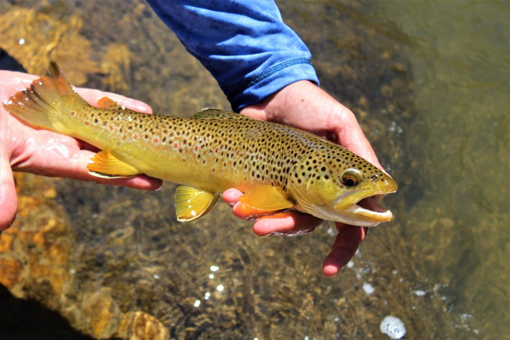 Trout caught with Wind River Whitewater & Flyfishing near Dubois, Wyoming.